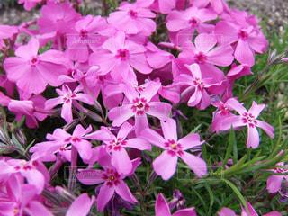 紫色の花のクローズアップの写真・画像素材[3138546]