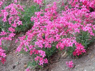 芝桜の写真・画像素材[3138551]