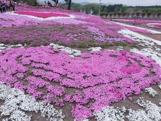 紫色の花のクローズアップの写真・画像素材[3138548]