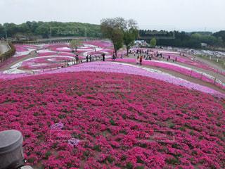 芝桜公園の写真・画像素材[3138550]