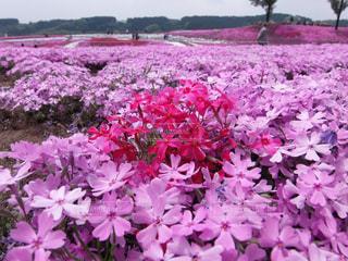 芝桜公園の写真・画像素材[3138554]