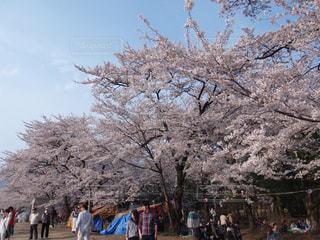 桜並木道の写真・画像素材[3138562]