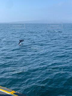 イルカのムレの写真・画像素材[3689734]