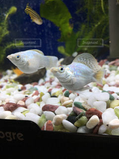 熱帯魚の写真・画像素材[123639]
