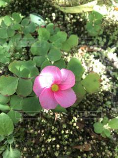 名も知らぬ小さな花(薄ピンク)・1の写真・画像素材[3126898]