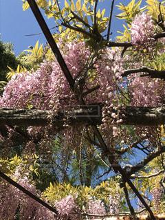 藤の花(薄ピンク)・1の写真・画像素材[3129627]