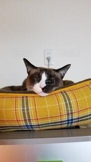 冷蔵庫の上から見つめてくる猫の写真・画像素材[3127320]