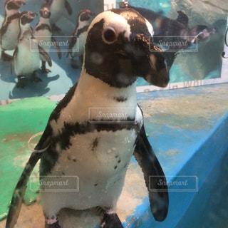 ペンギン - No.123958