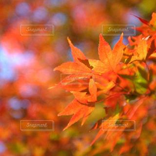 綺麗に色づいた紅葉 - No.952934