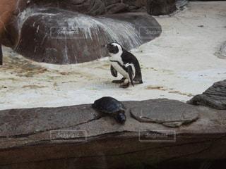 ペンギン - No.138960