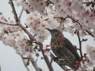 桜の木の枝に止まる鳥の写真・画像素材[3163675]
