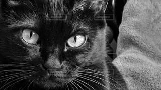 カメラを見ている猫のクローズアップの写真・画像素材[3174596]
