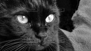 カメラを見ている猫のクローズアップの写真・画像素材[3174598]