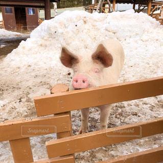豚の写真・画像素材[3130759]