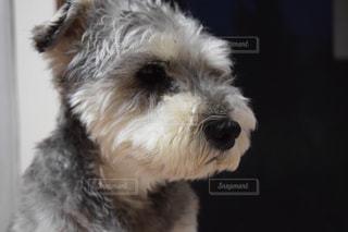 犬の写真・画像素材[177392]