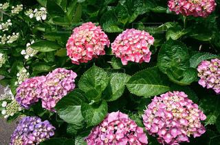 雨上がりの紫陽花の写真・画像素材[3133176]