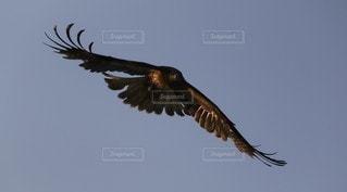 空を飛んでいるトンビの写真・画像素材[3153157]