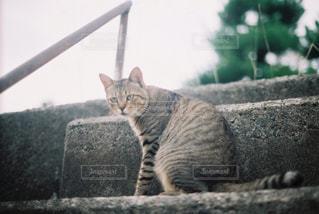 カメラを見ている猫の写真・画像素材[3134587]