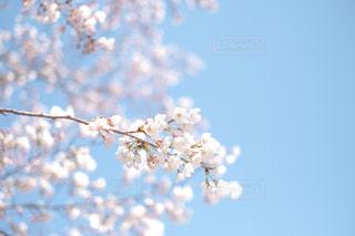 桜と空の写真・画像素材[3134682]