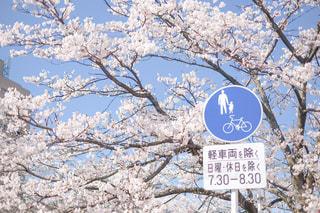 標識と桜の写真・画像素材[3134774]