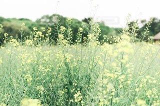 菜の花畑の写真・画像素材[3385257]