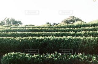 静岡の茶畑の写真・画像素材[3392433]