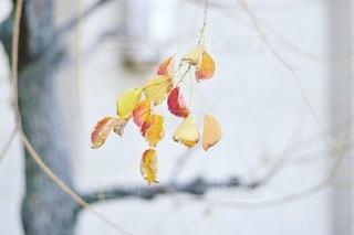枯れ葉のついた冬の木の写真・画像素材[3393736]