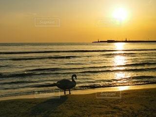 夕日と白鳥の写真・画像素材[3136256]