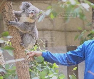 動物園の展示場でコアラの写真・画像素材[3138493]
