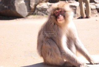 黄昏猿の写真・画像素材[3140602]