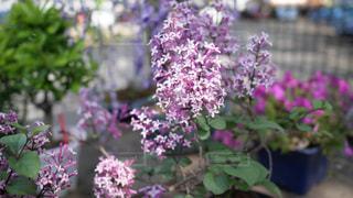紫色の花のクローズアップの写真・画像素材[3151557]