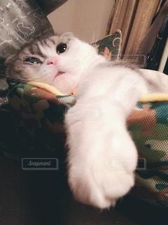 カメラを見ている猫の写真・画像素材[3145391]