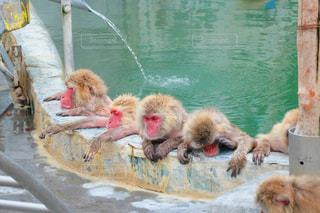 温泉お猿の写真・画像素材[3162239]