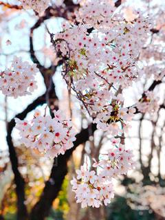 桜の写真・画像素材[3203607]