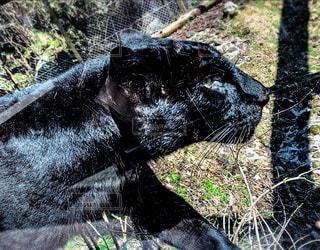 黒ヒョウの写真・画像素材[3210380]