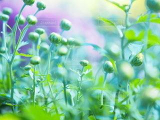 蕾の菊たち9の写真・画像素材[3151330]