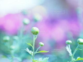 蕾の菊たち10の写真・画像素材[3151331]