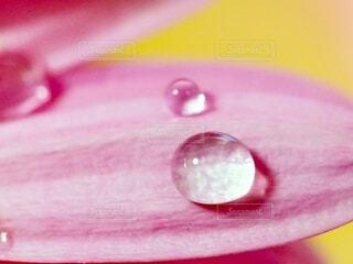 花びらと水滴の写真・画像素材[4181036]