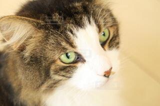 お猫さまの写真・画像素材[4367296]