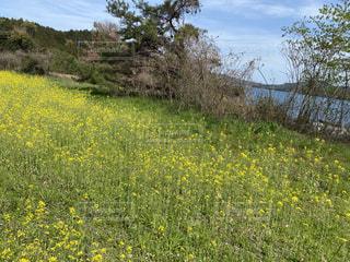 野原の黄色い花の写真・画像素材[3152285]