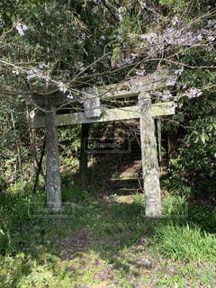 鳥居と桜の写真・画像素材[3152348]