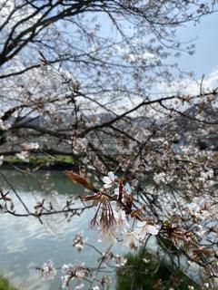 水辺の桜の写真・画像素材[3154778]