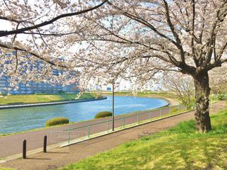 荒川と隅田川に挟まれて桜の写真・画像素材[3153586]