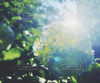 紫陽花の写真・画像素材[3271192]