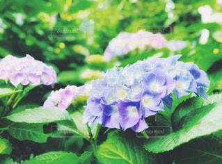 紫陽花の写真・画像素材[3271193]