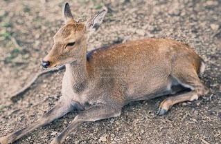 鹿の写真・画像素材[3674196]