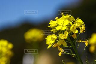一輪の黄色い花の写真・画像素材[3153527]