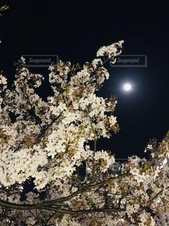 桜と月の写真・画像素材[3155811]