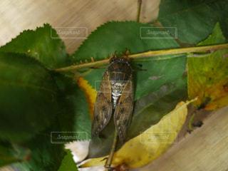 蝉の観察の写真・画像素材[3157047]