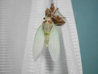 蝉の羽化の写真・画像素材[3157041]